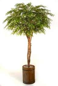 Ficus_Nitida_Gigantea_Light_Green_220_cm_V1007B28