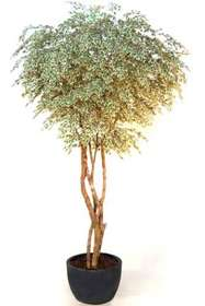 Ficus_Starlight_Gigantea_320_cm_Variegated_V1009A01
