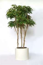https://www.passionecreativa.it/data/upload/small/foto-n-36-ficus-designer-x3-320-cm.jpg