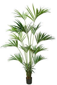 Kentia Palm w Pot 240 cm Green