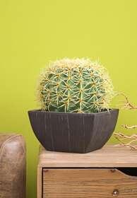 cactus palla
