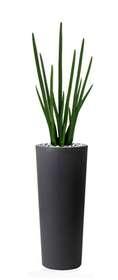 Sanseveria_Cylindrica_110_cm_Green_V5372GRN