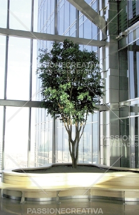 Ficus_Deltoidea_Designer_600_cm_1006A16_ok